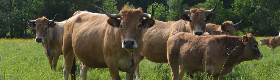 Vaches aubrac